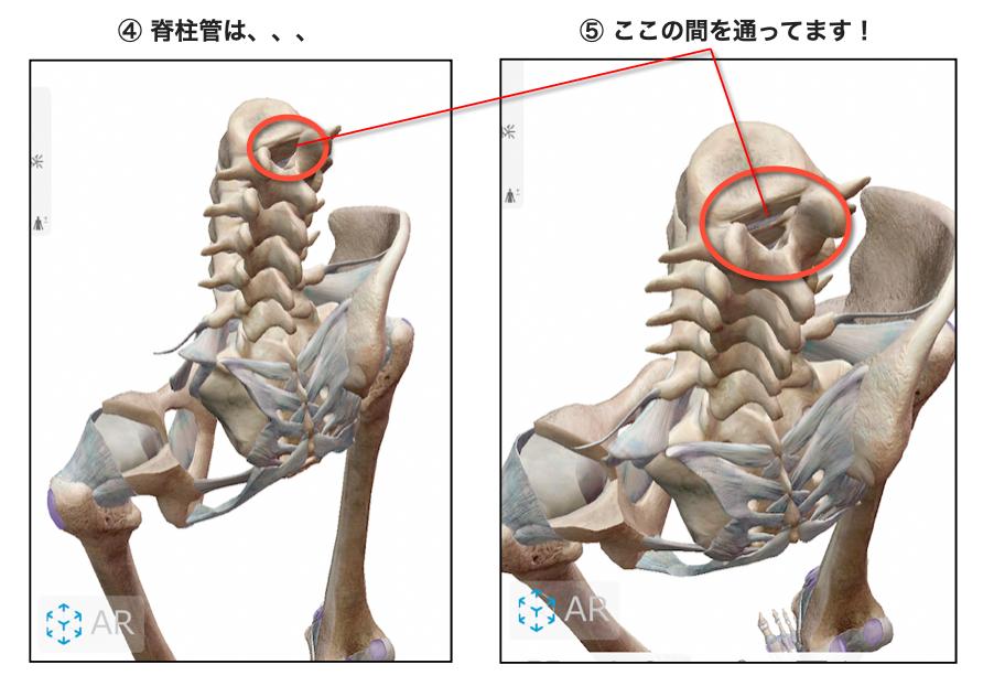 脊柱管の位置の説明