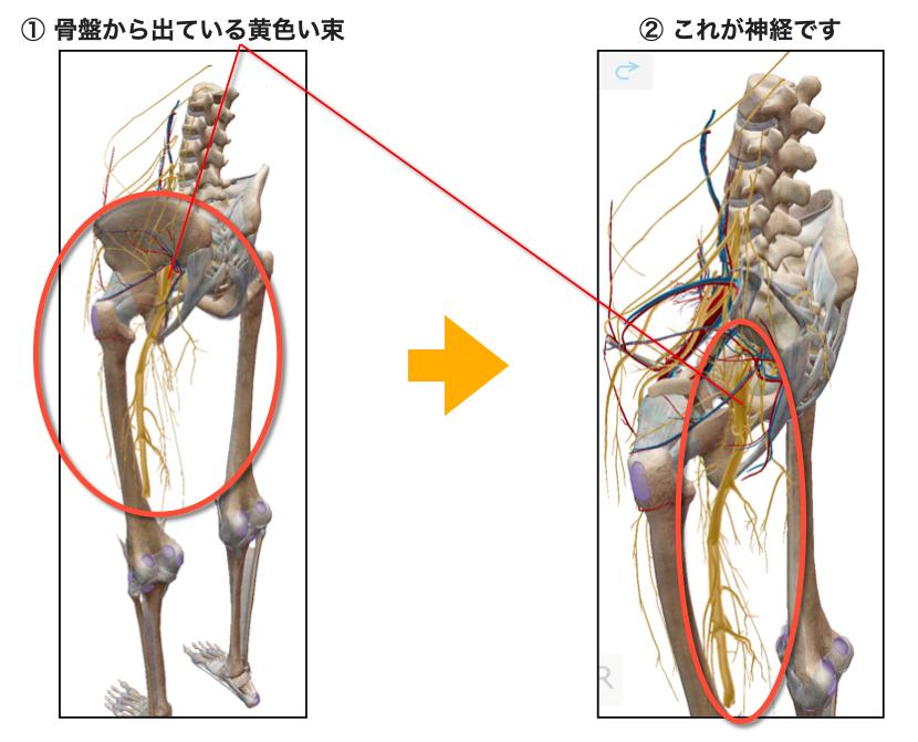 腰の神経の流れ